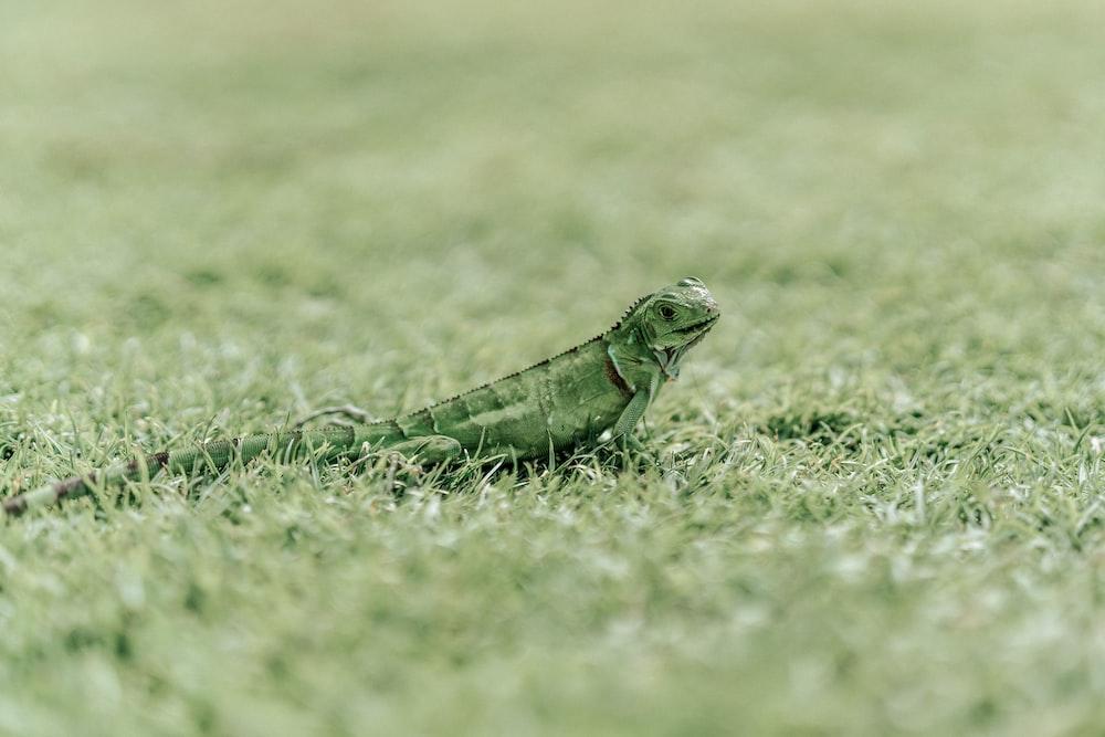 green iguana on green grass field during daytime