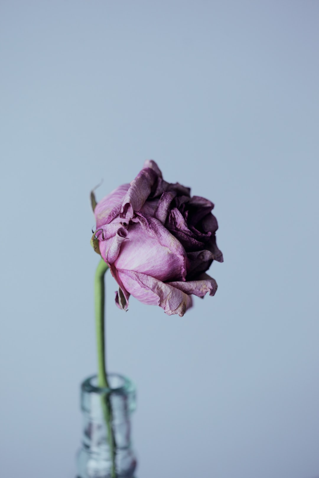 Portrait of a lovely dying rose from Valentine's Day.