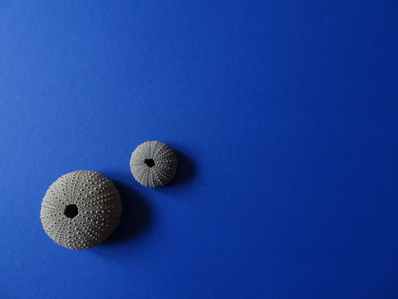 two gray sea shells