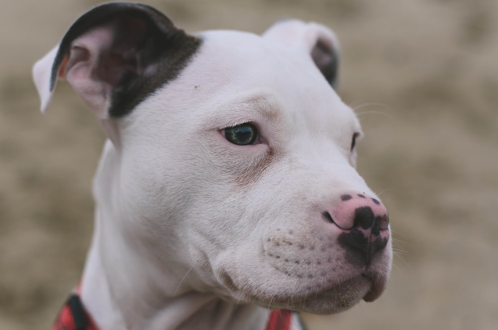 shadow depth of field photography if American pit bull terrier