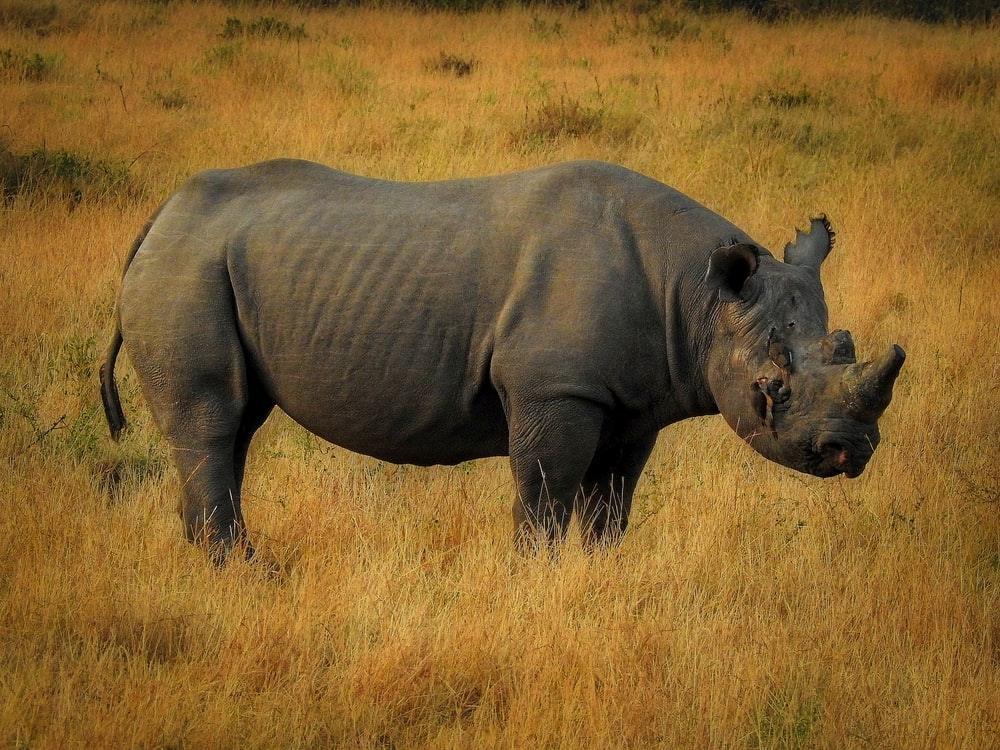 black rhino on field