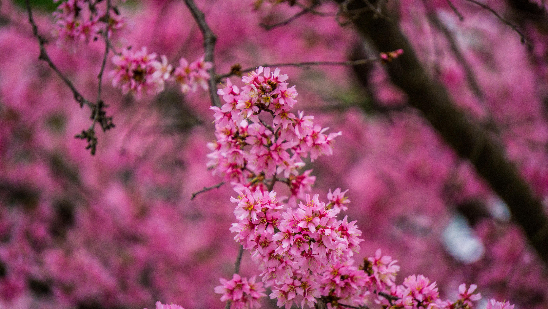 pink clustered petal flowers