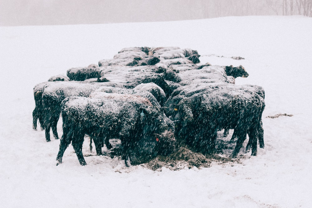 group of animal gathered on field covered with snow