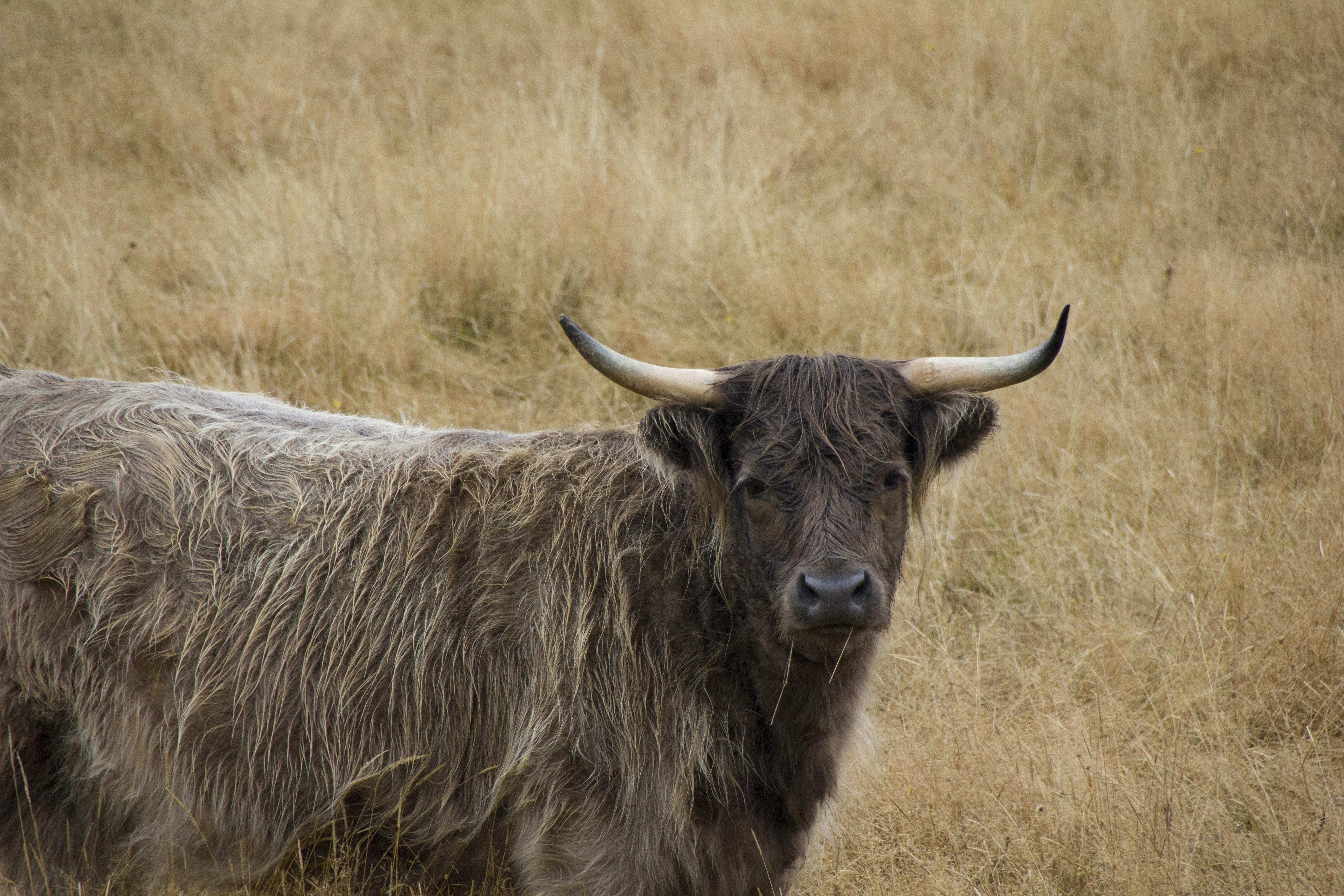 black yak on brown grass field