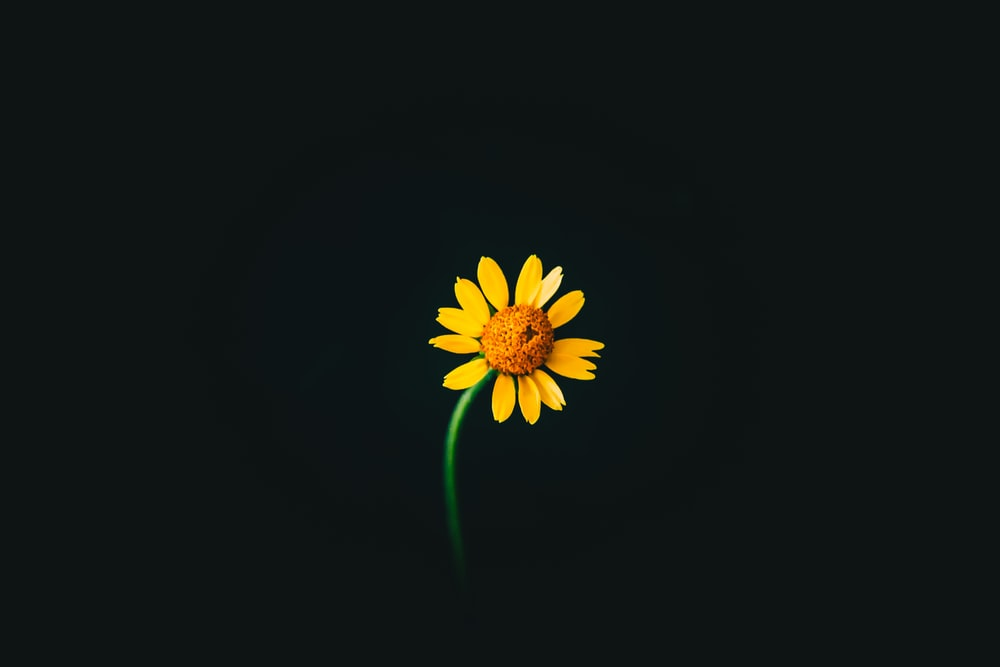 close photo of yellow sunflower