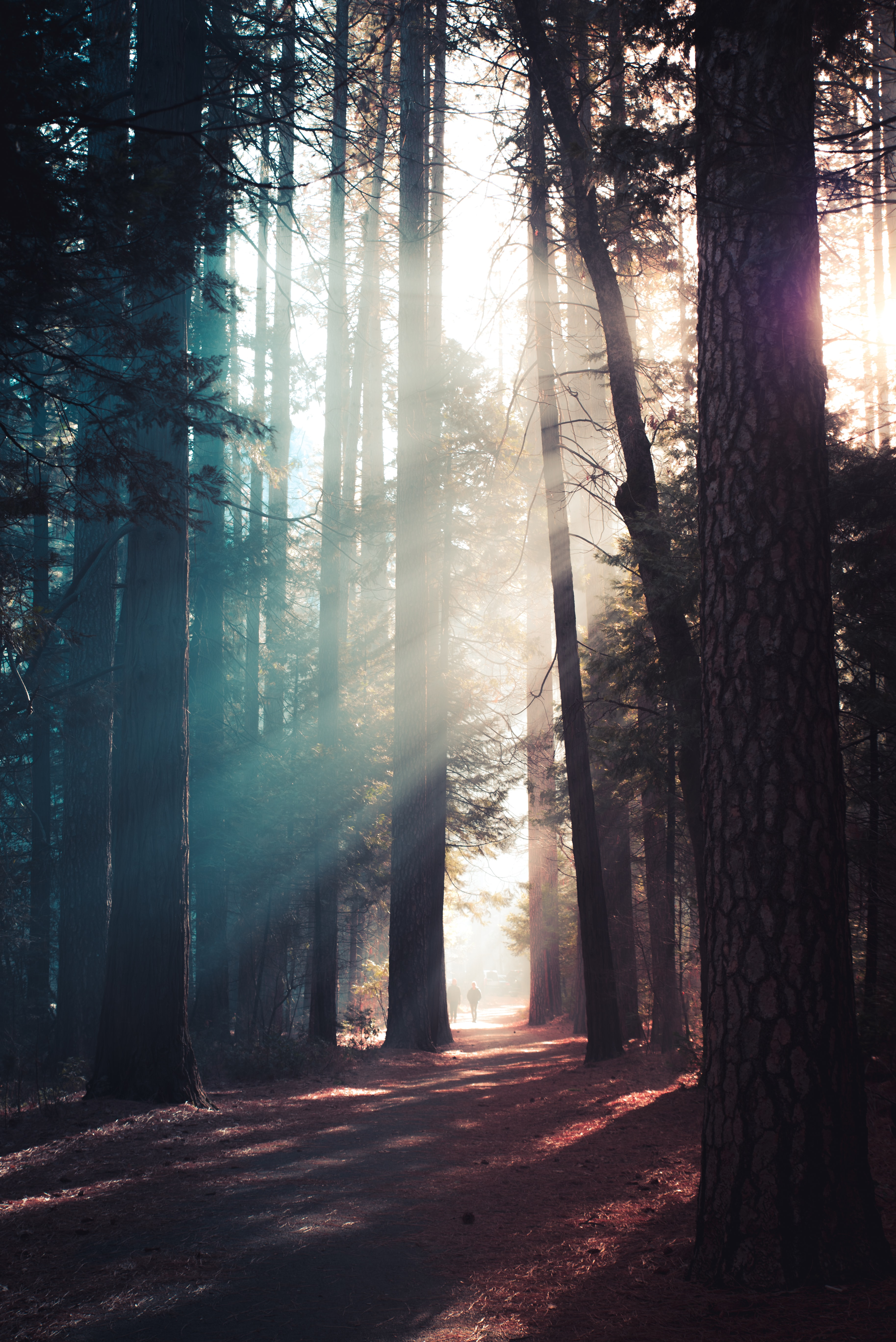 trees in forest with sun rays