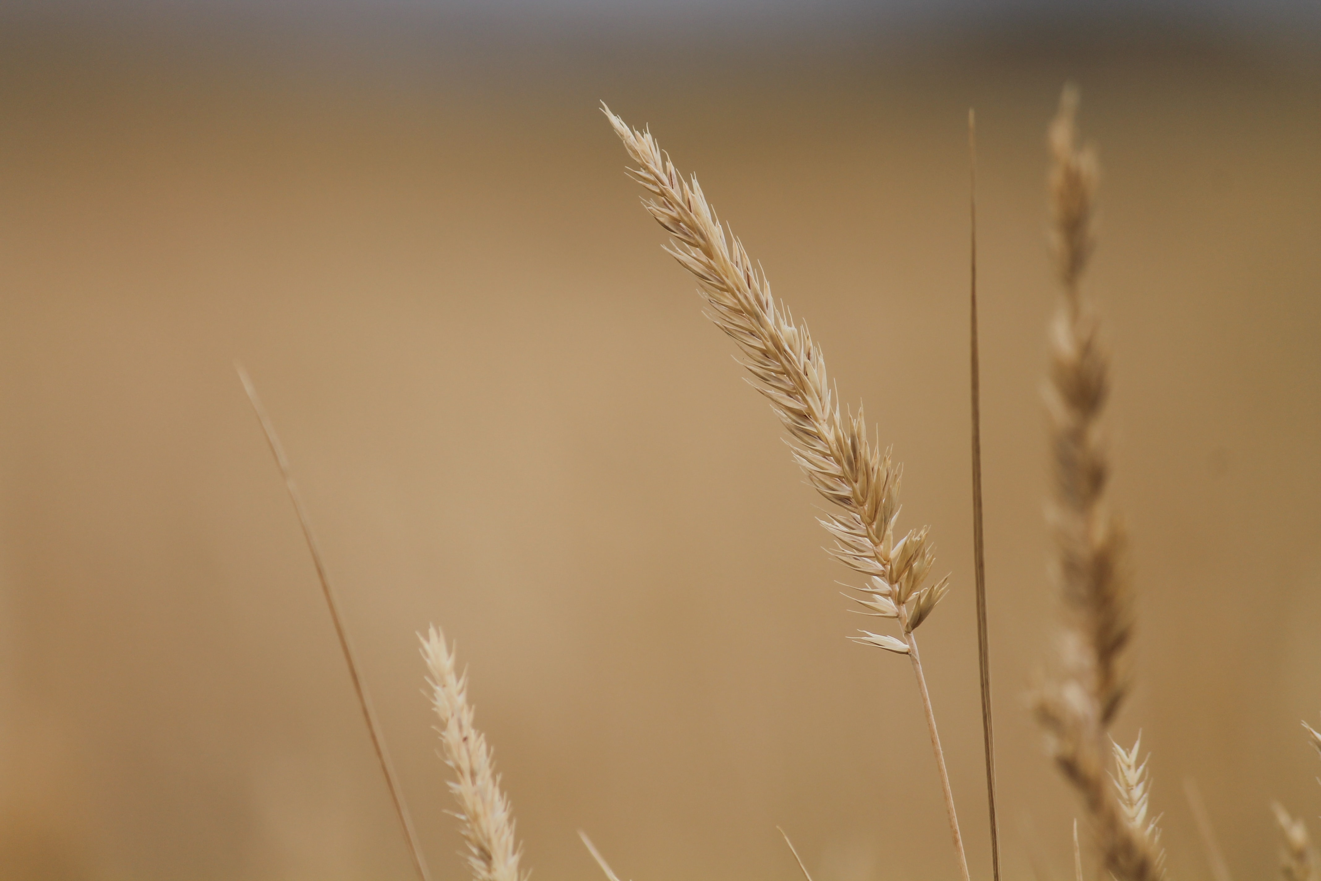selective photography of brown wheat