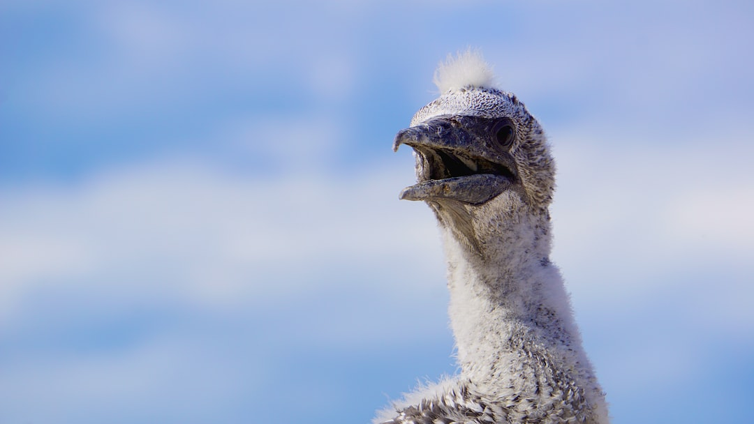 Gannet chick waiting for food