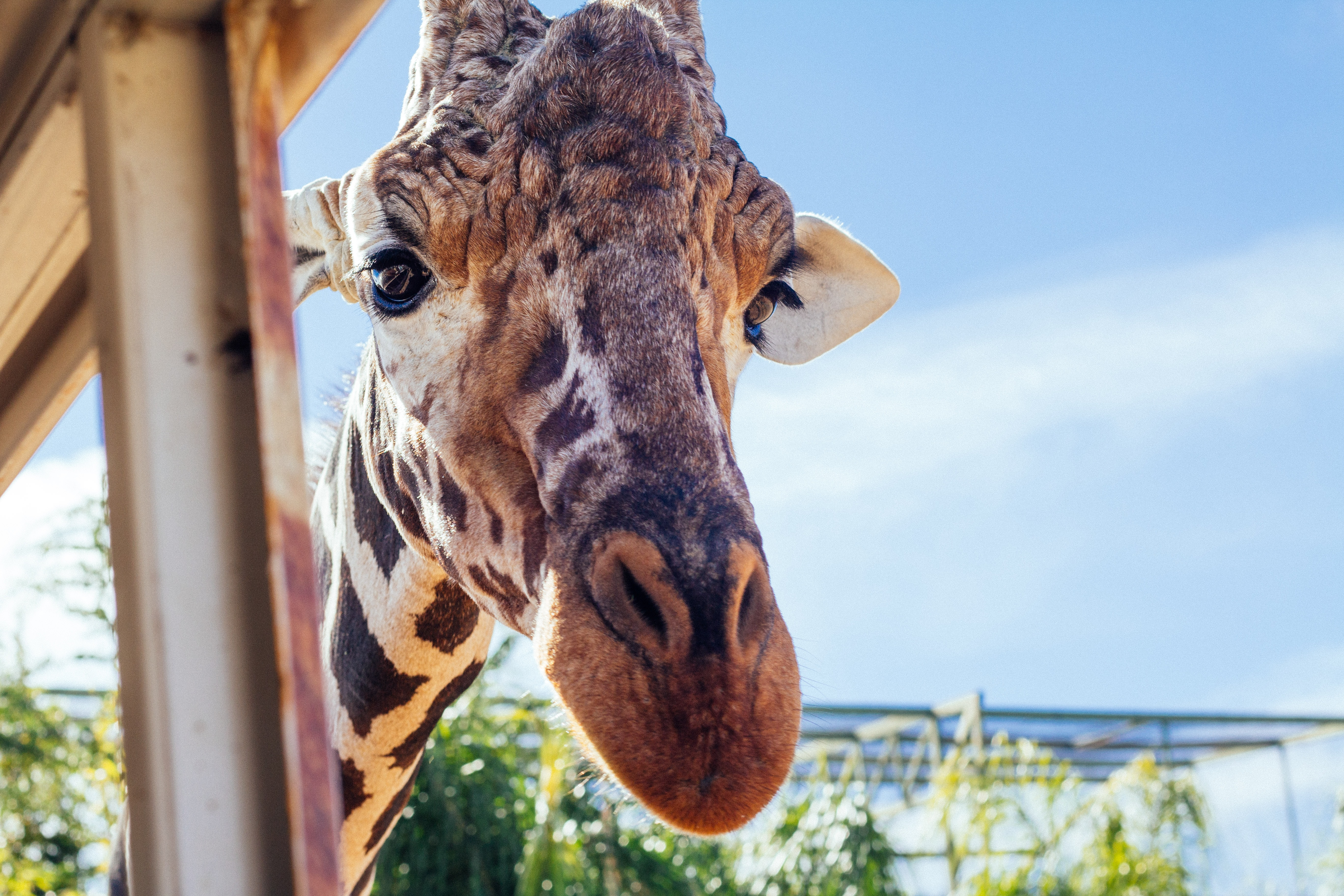 Giraffe's head photography during daytime