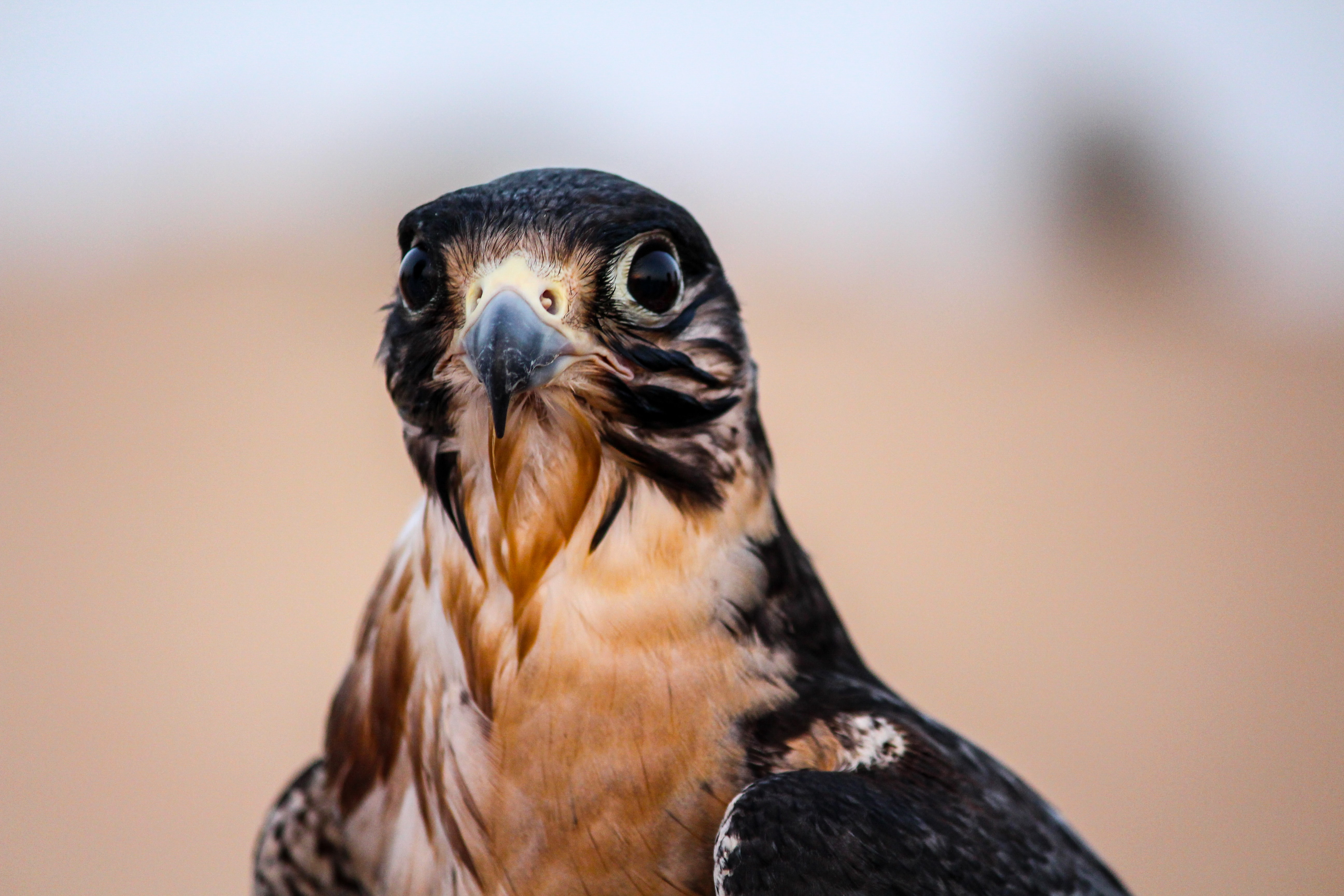 brown and black falcon in shallow focus shot