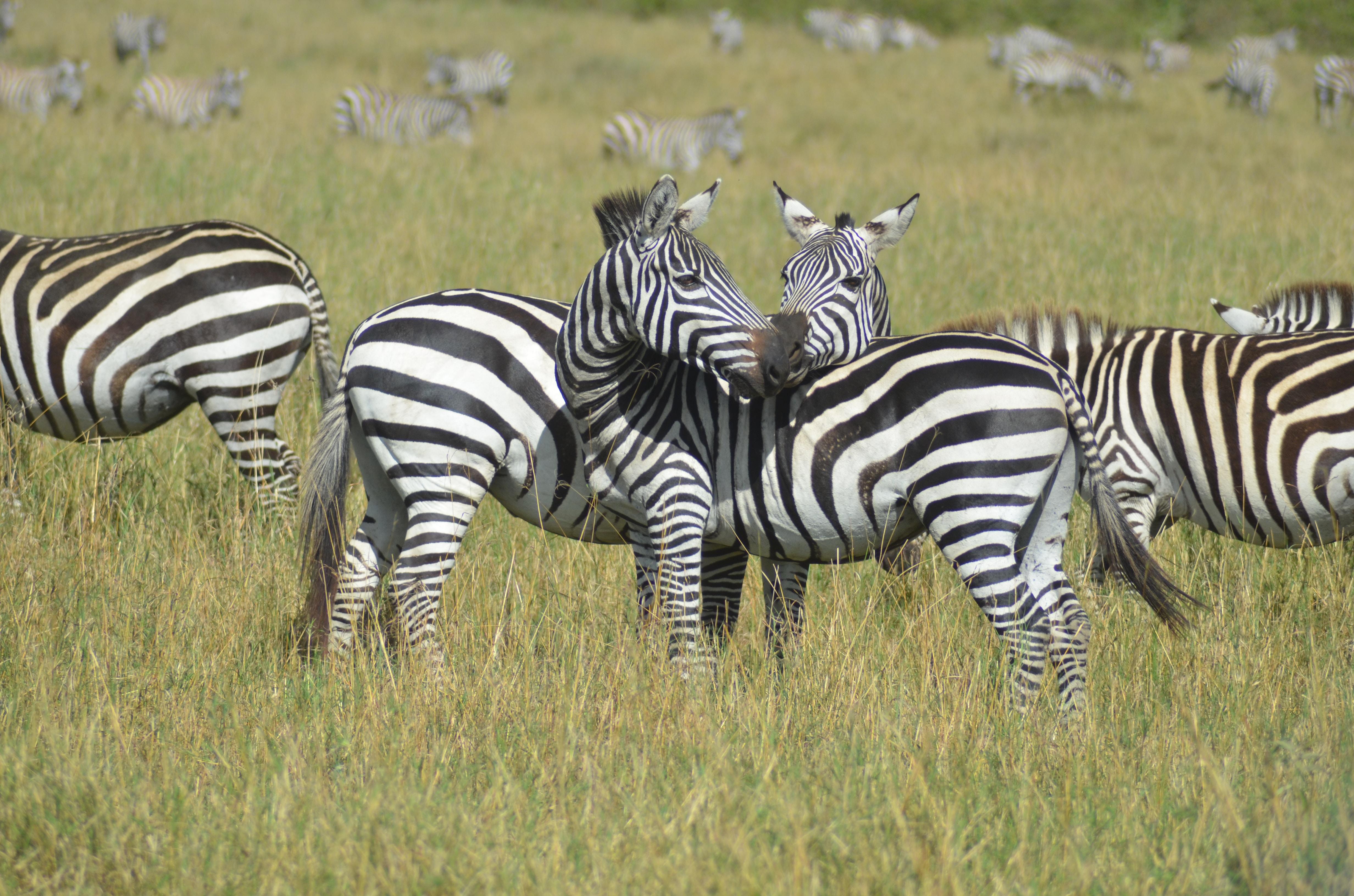 herd of zebra on green grass field during daytime