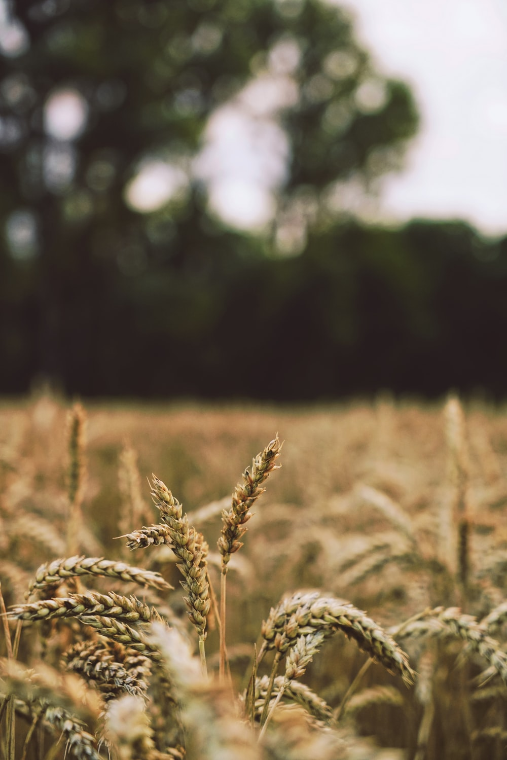 shallow focus photography of wheats during daytime