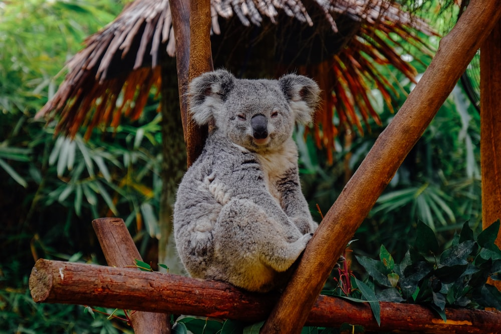 Koalas 18 Best Free Koala Animal Wildlife And Bear Photos On