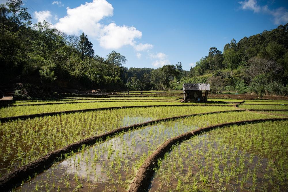 rice paddy during daytime