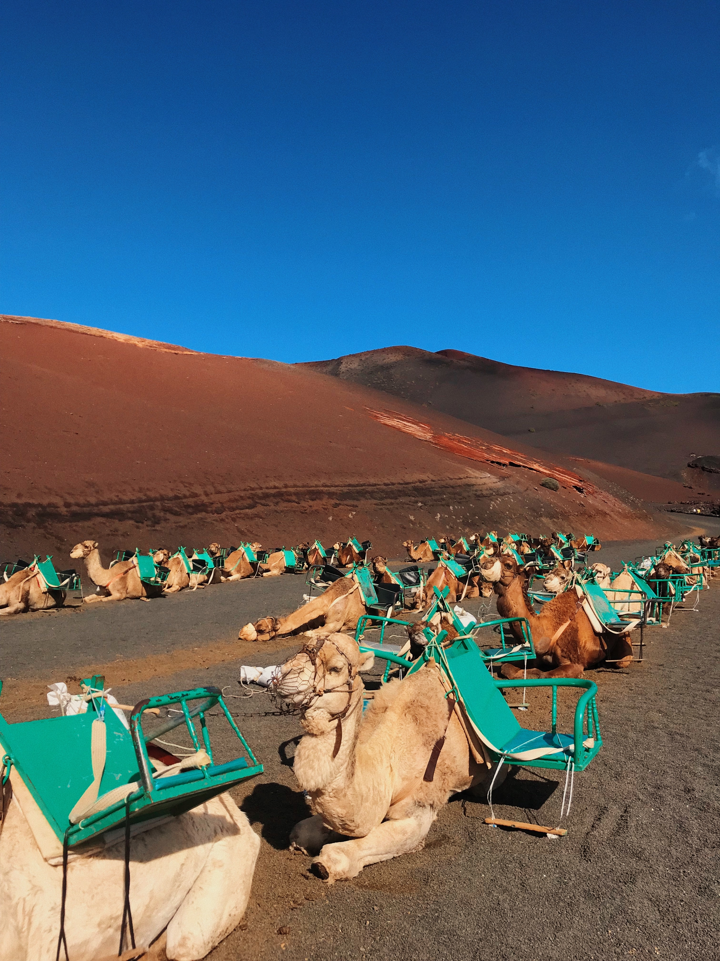 camel sitting on ground beside folding chairs