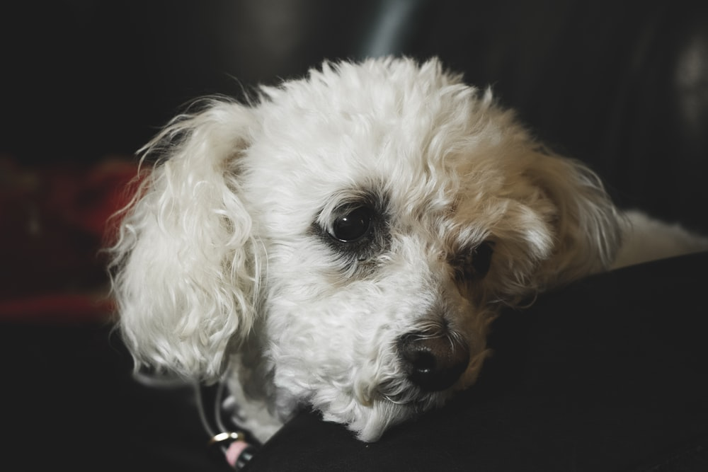 photography of white long-coated dog