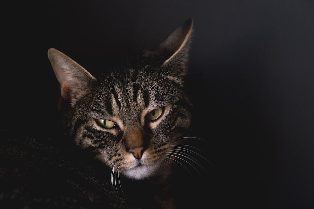 macro shot of silver tabby cat
