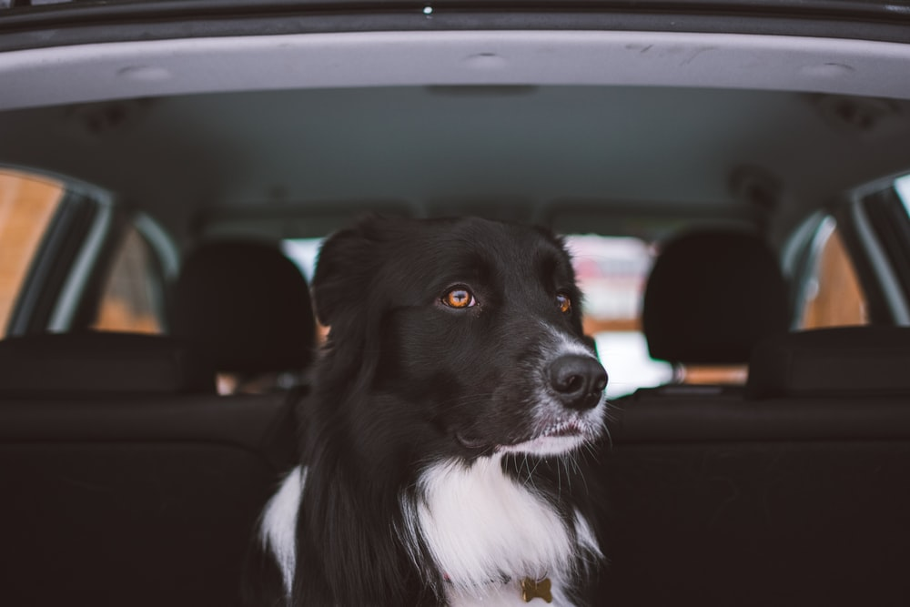 adult black and white collie sitting at the back of car