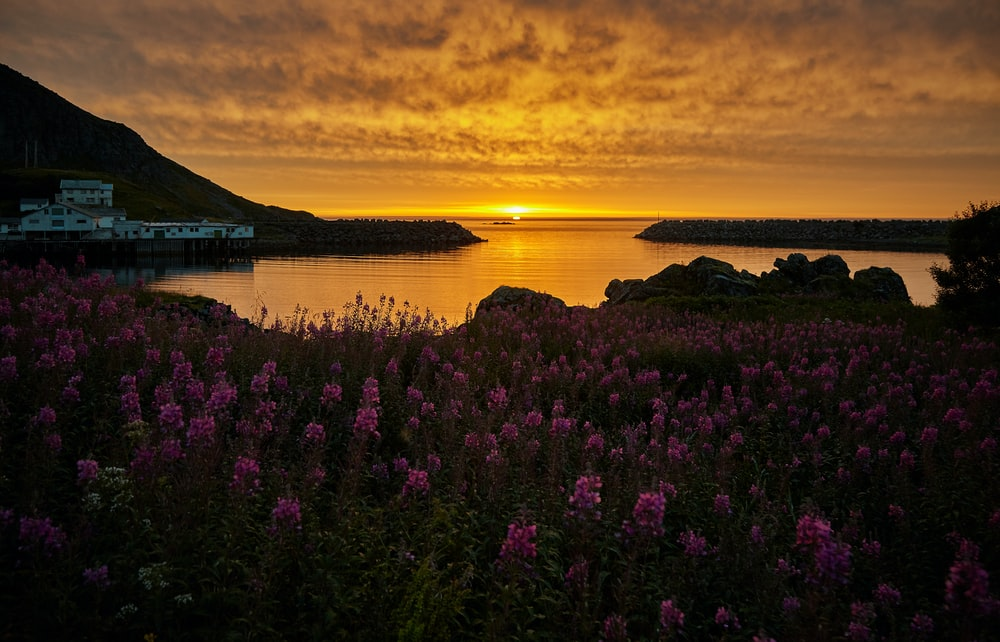 pink flowers near body of water during sunset