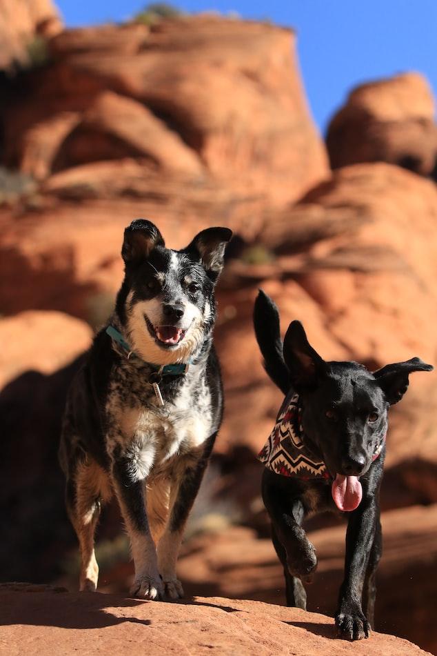 two dogs in desert