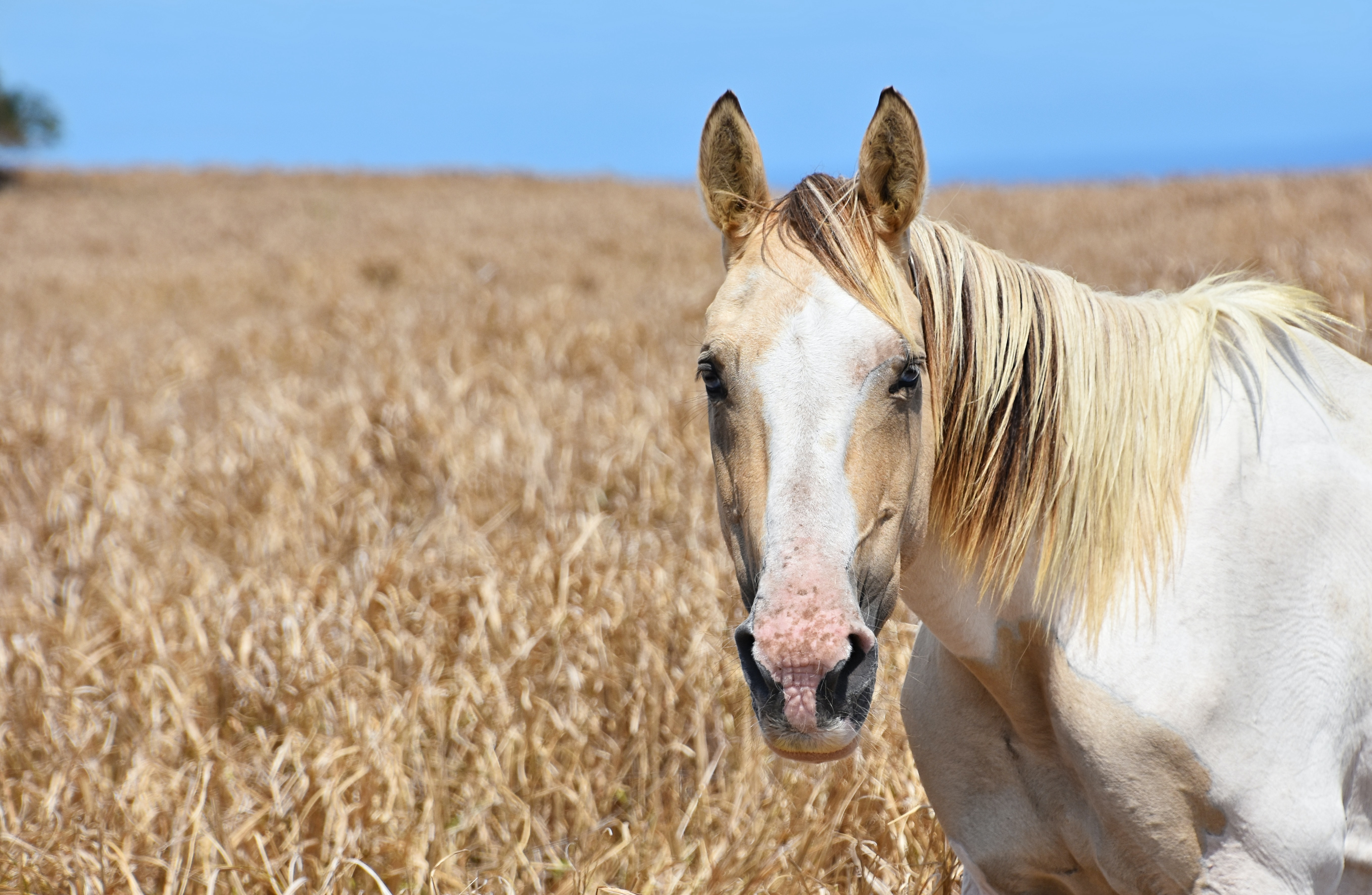 white and beige horse surrounding by a dried grass