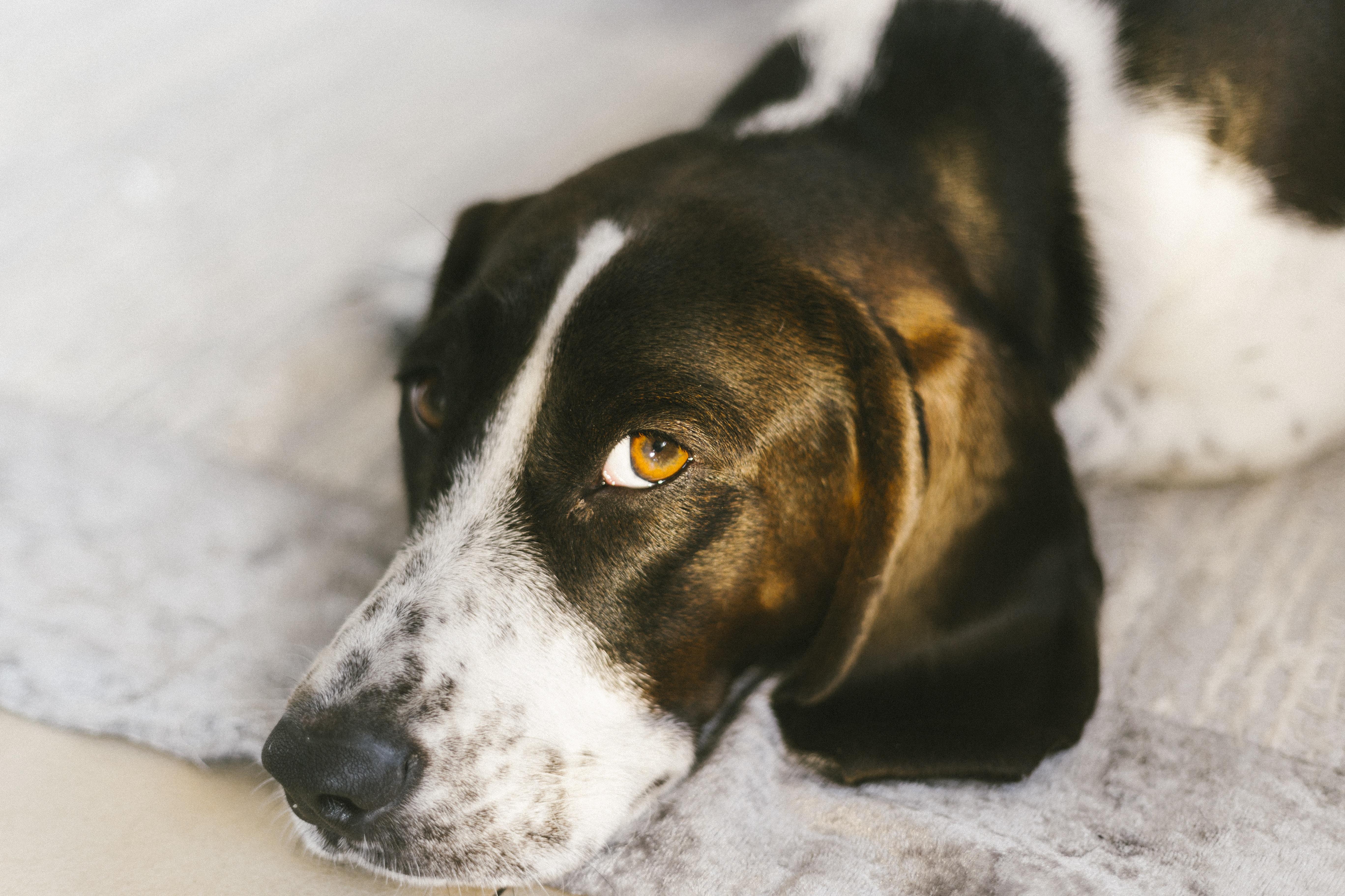white and black dog on white rug