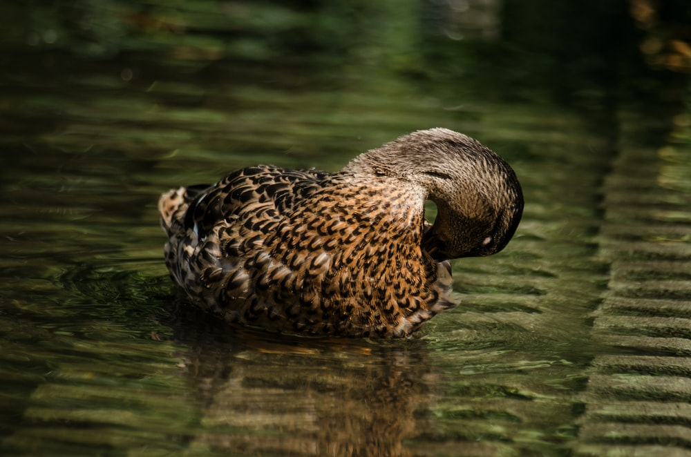 brown duck floating on water