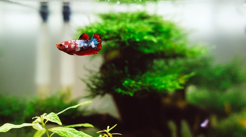 Betta Sorority Guide