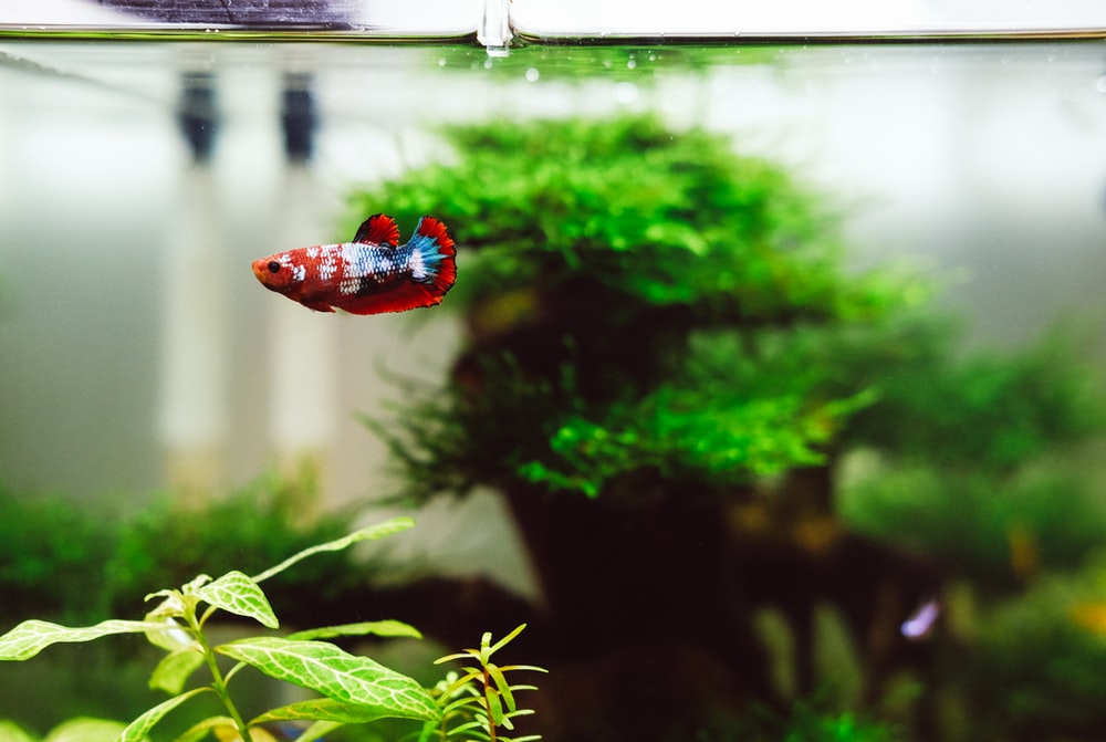 red and blue beta fish