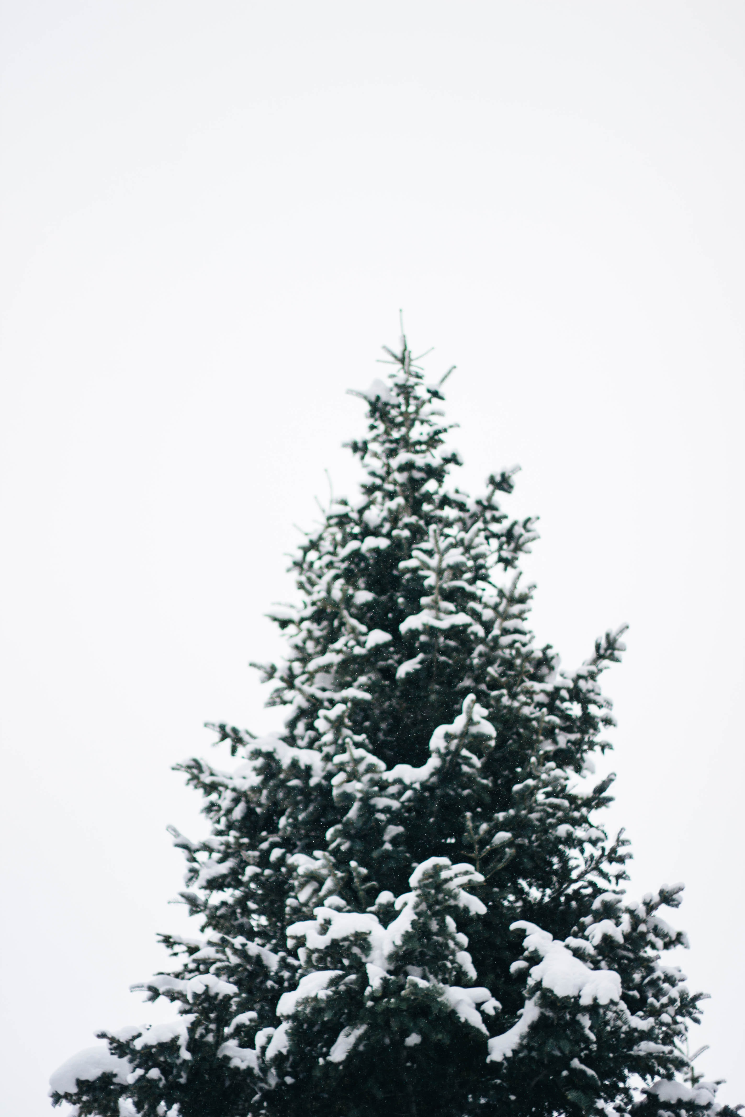 pine tree filled with snow