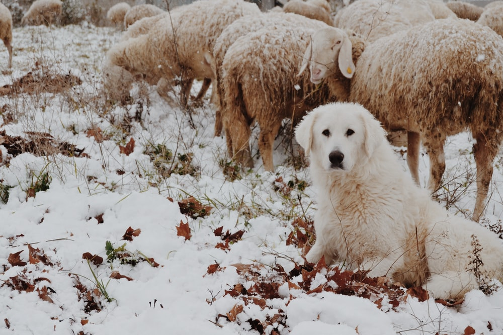 adult white dog sitting beside sheep during winter