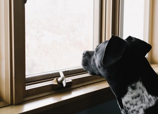 black dog staring on window