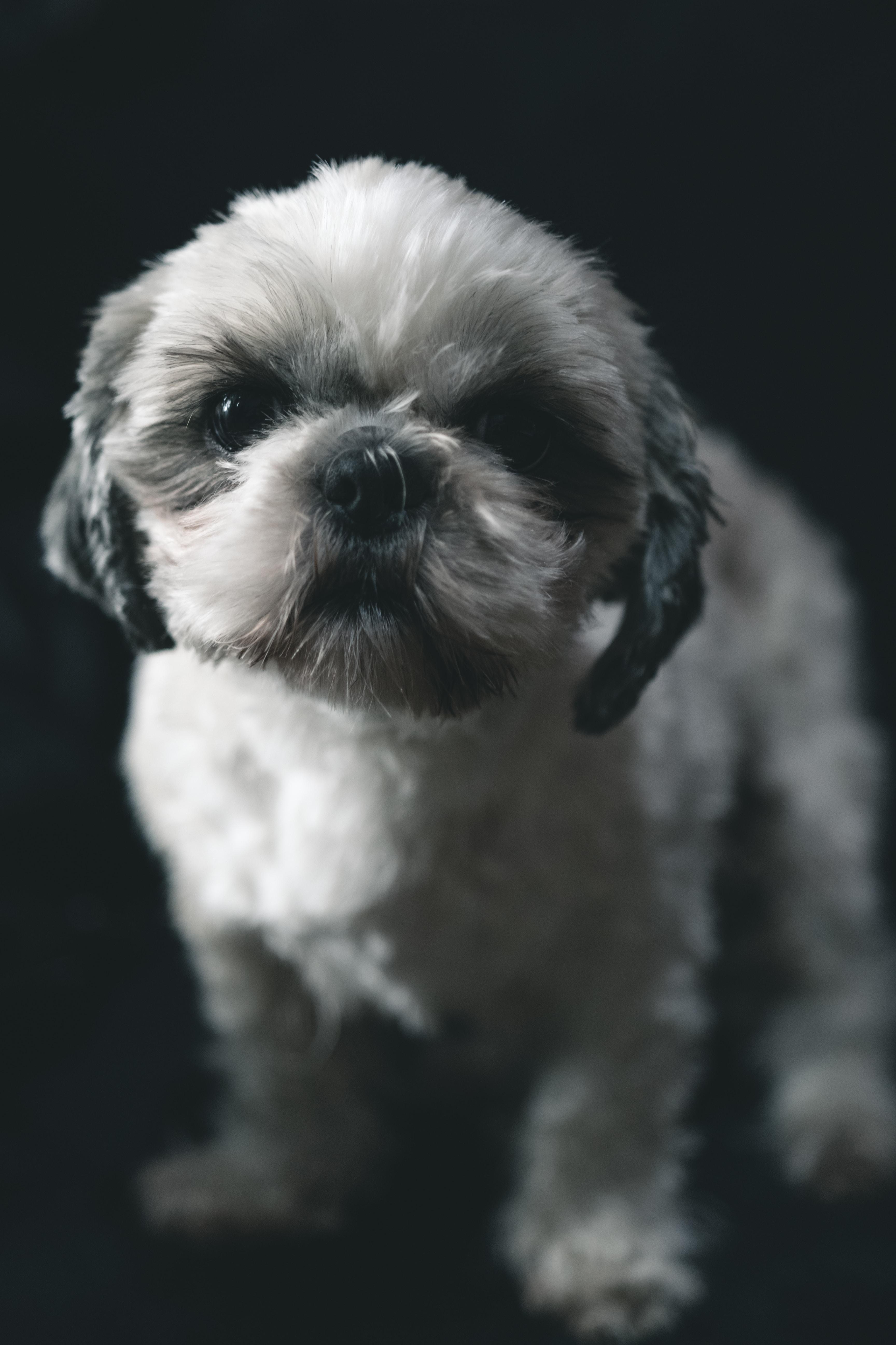 white and gray Shih Tzu puppy