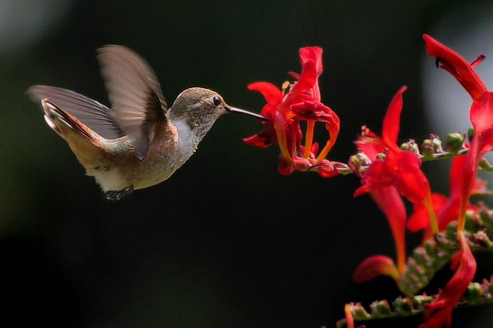 brown hummingbird eating nectar in red flower