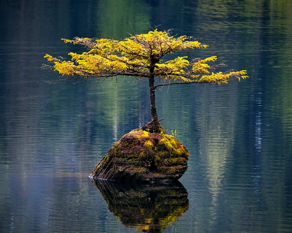 bonsai tree in middle of body of water