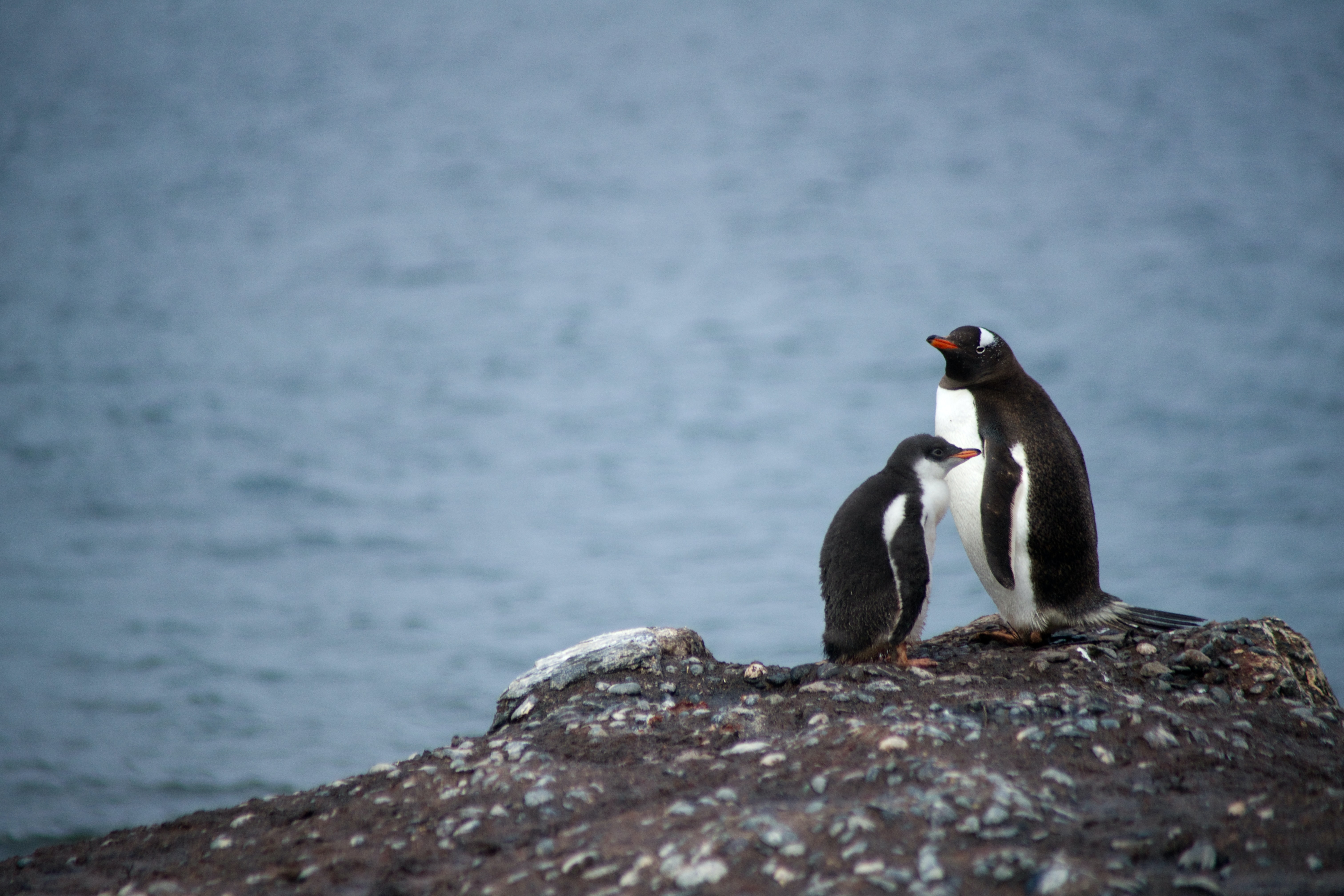 two penguin on rock formation near body of water
