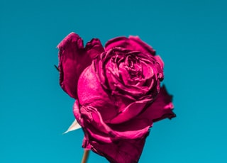 selective focus of pink rose