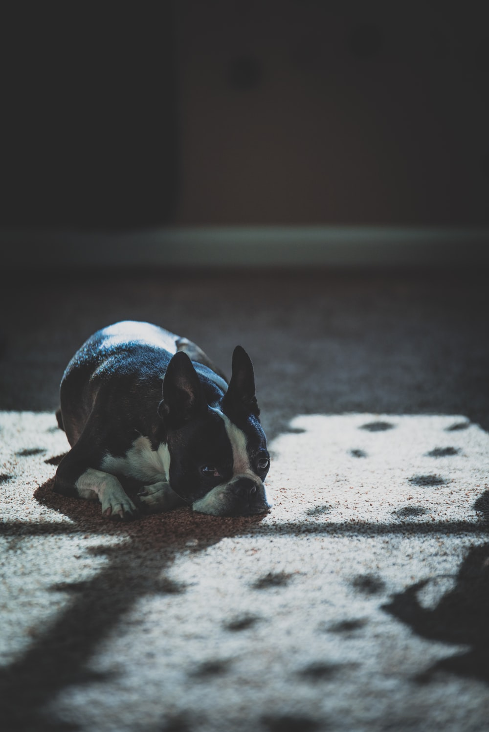 black and white French bulldog laying on floor