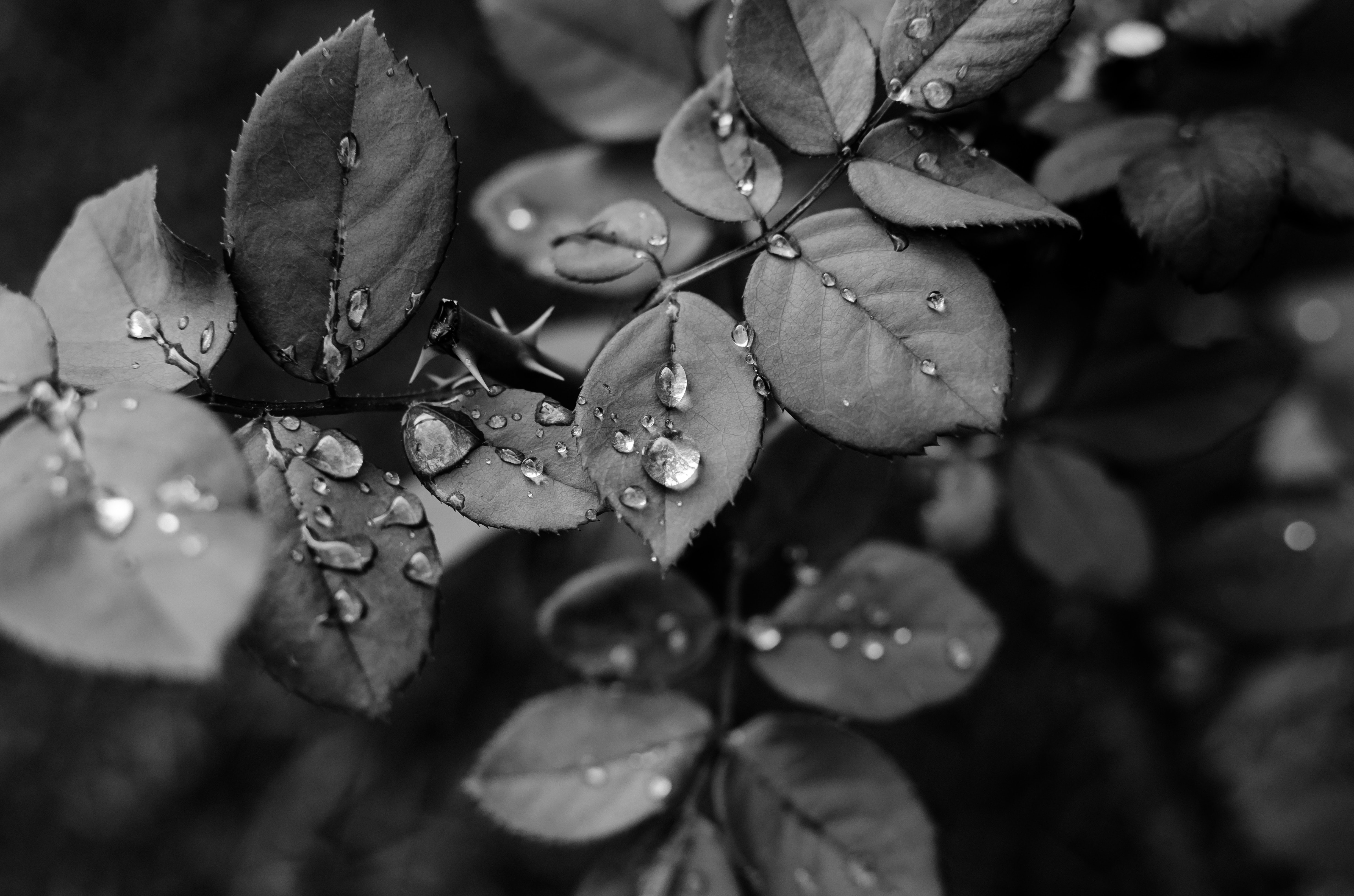 grayscale photo of leaves with water droplets