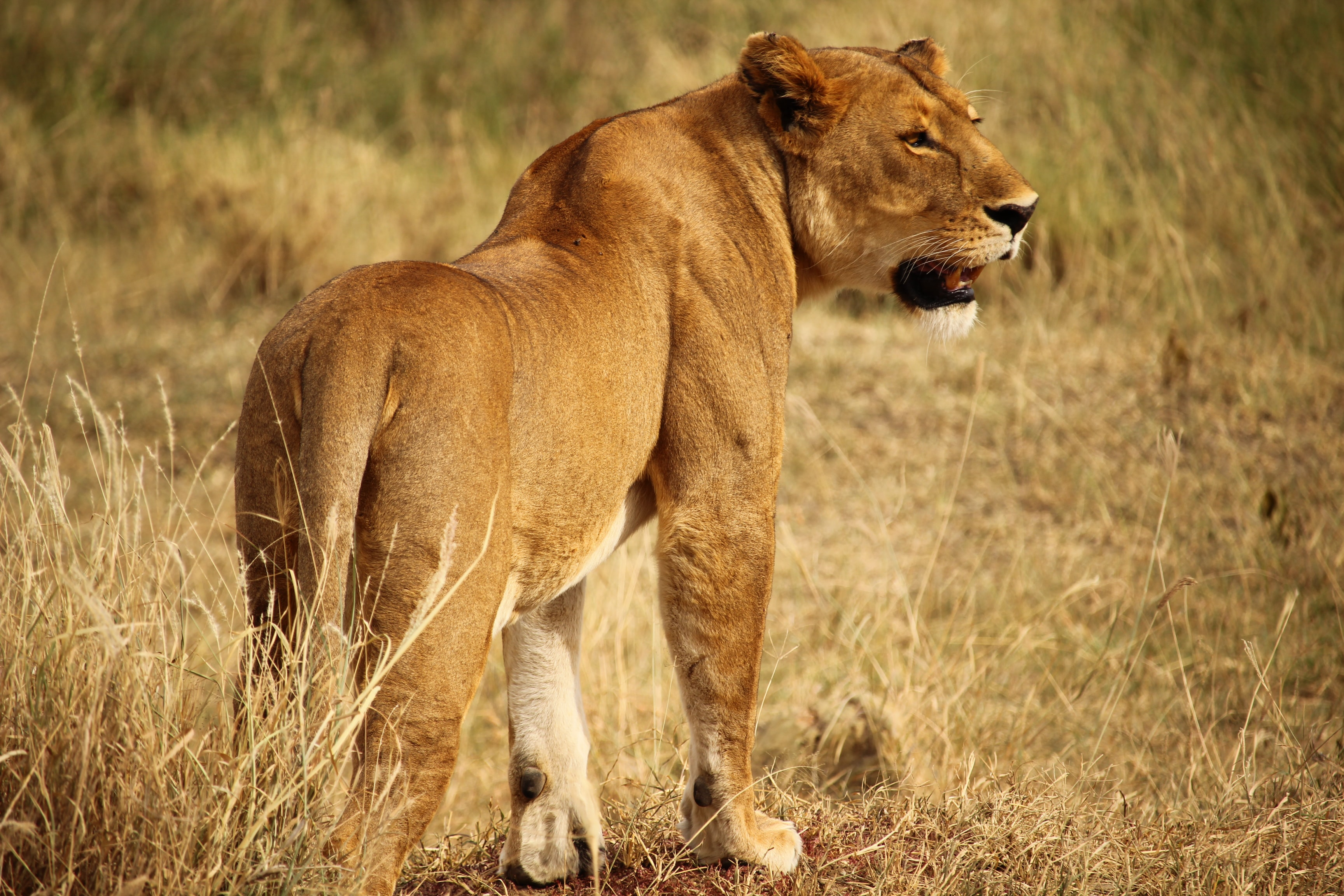 brown lioness standing on ground