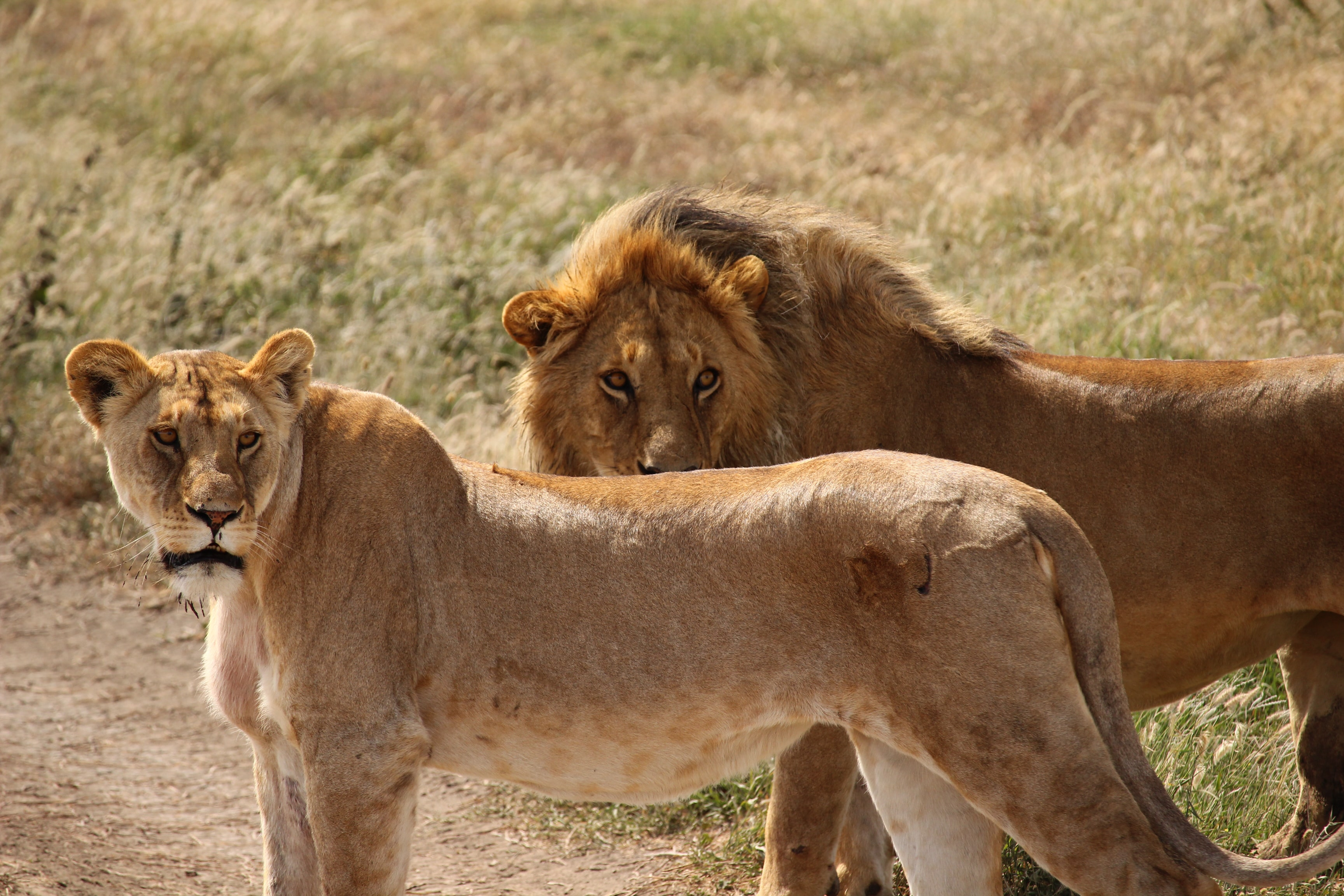 lion and lioness during daytime