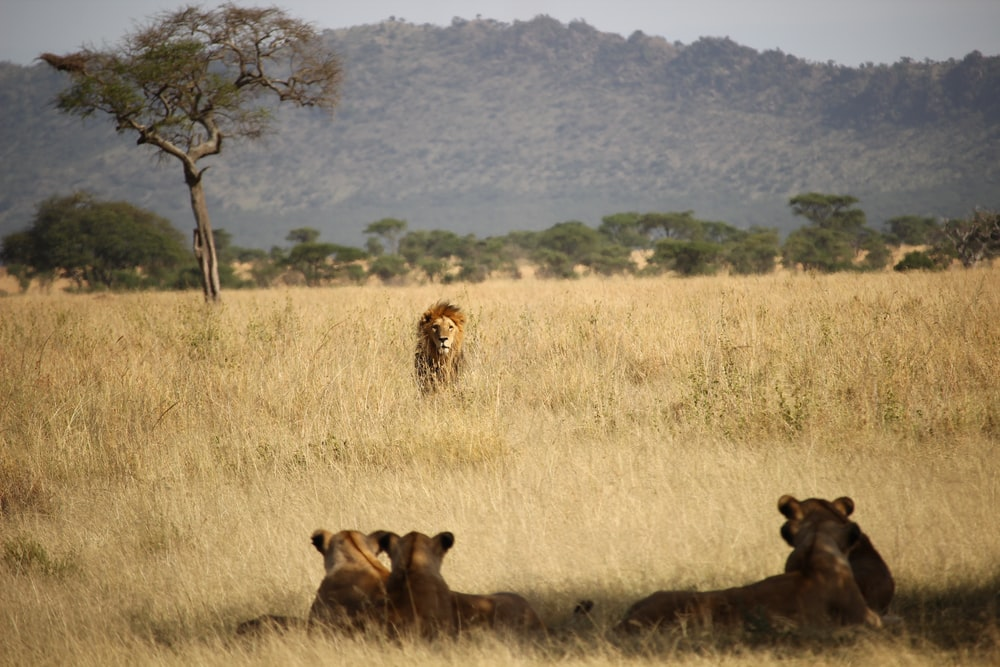 lion in front of tigers surrounded with grass during daytime