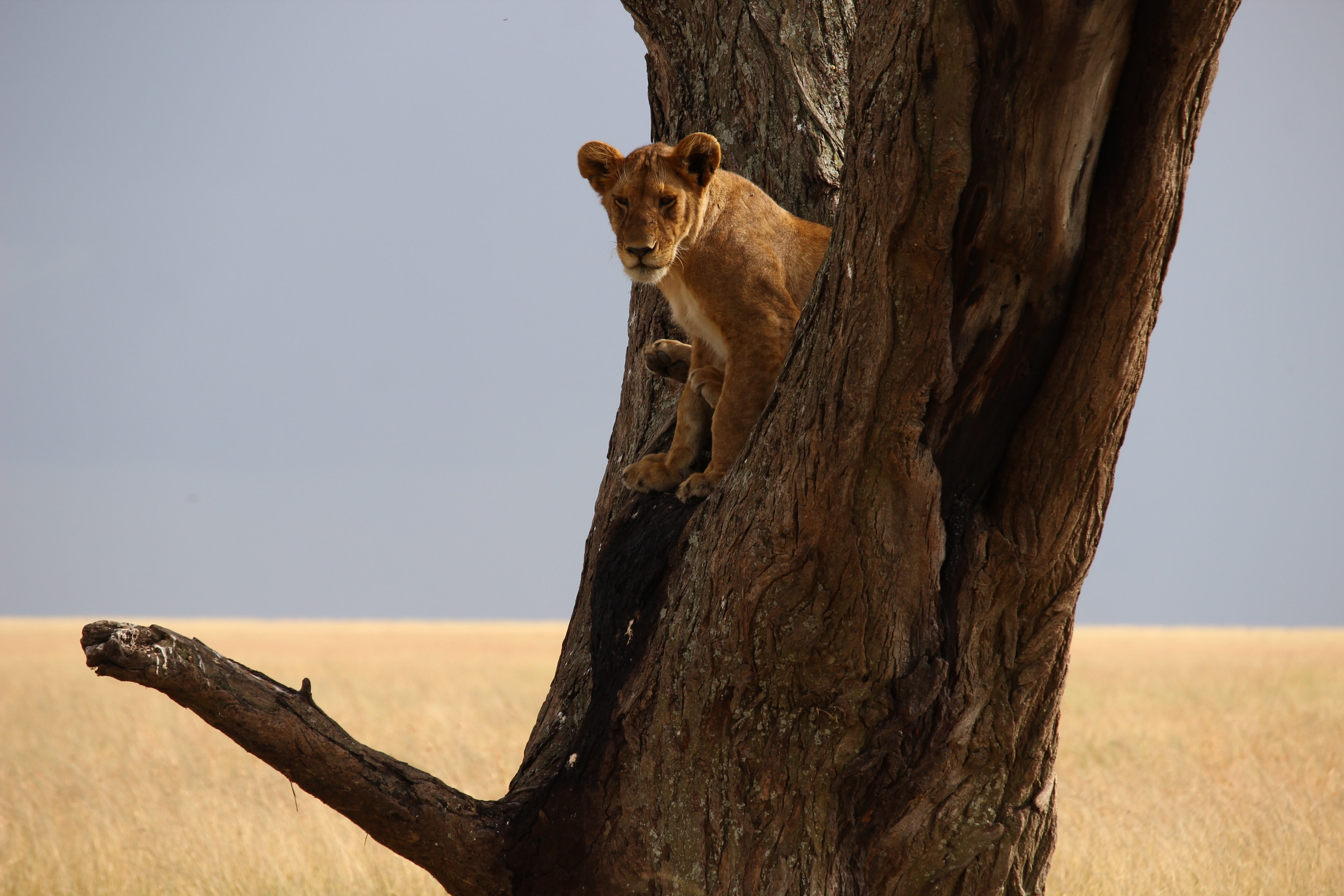 brown lioness on tree
