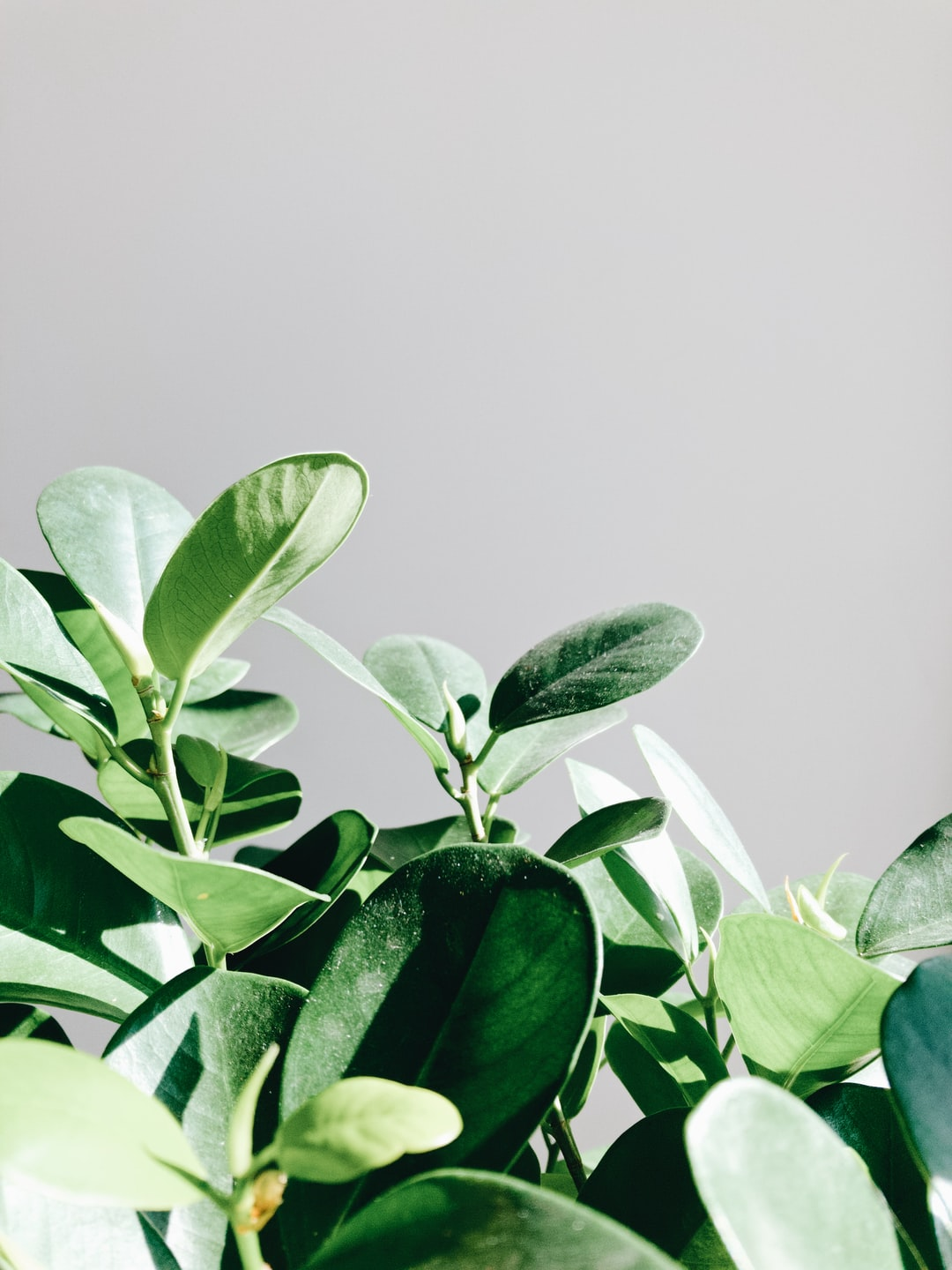 Plants. Leaves of the Ficus