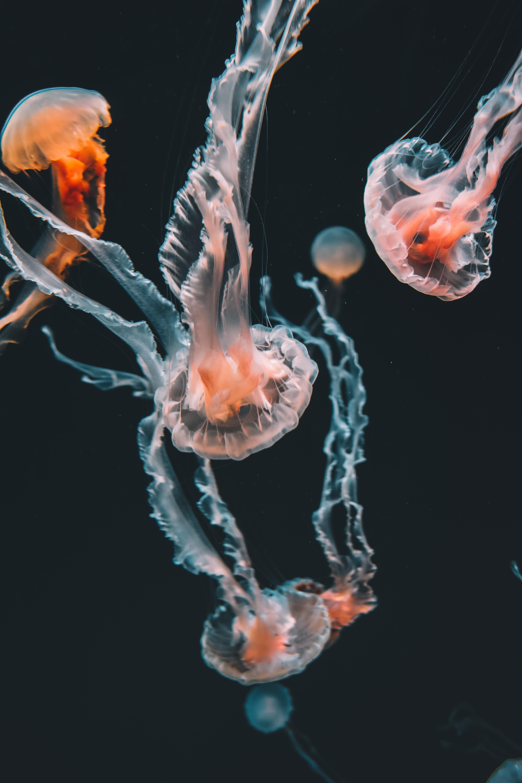 pink jellyfishes underwater