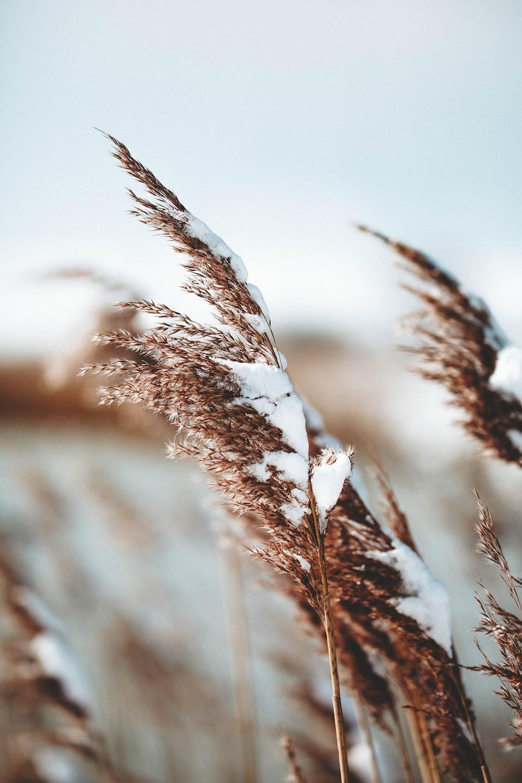 brown wheats under gray sky