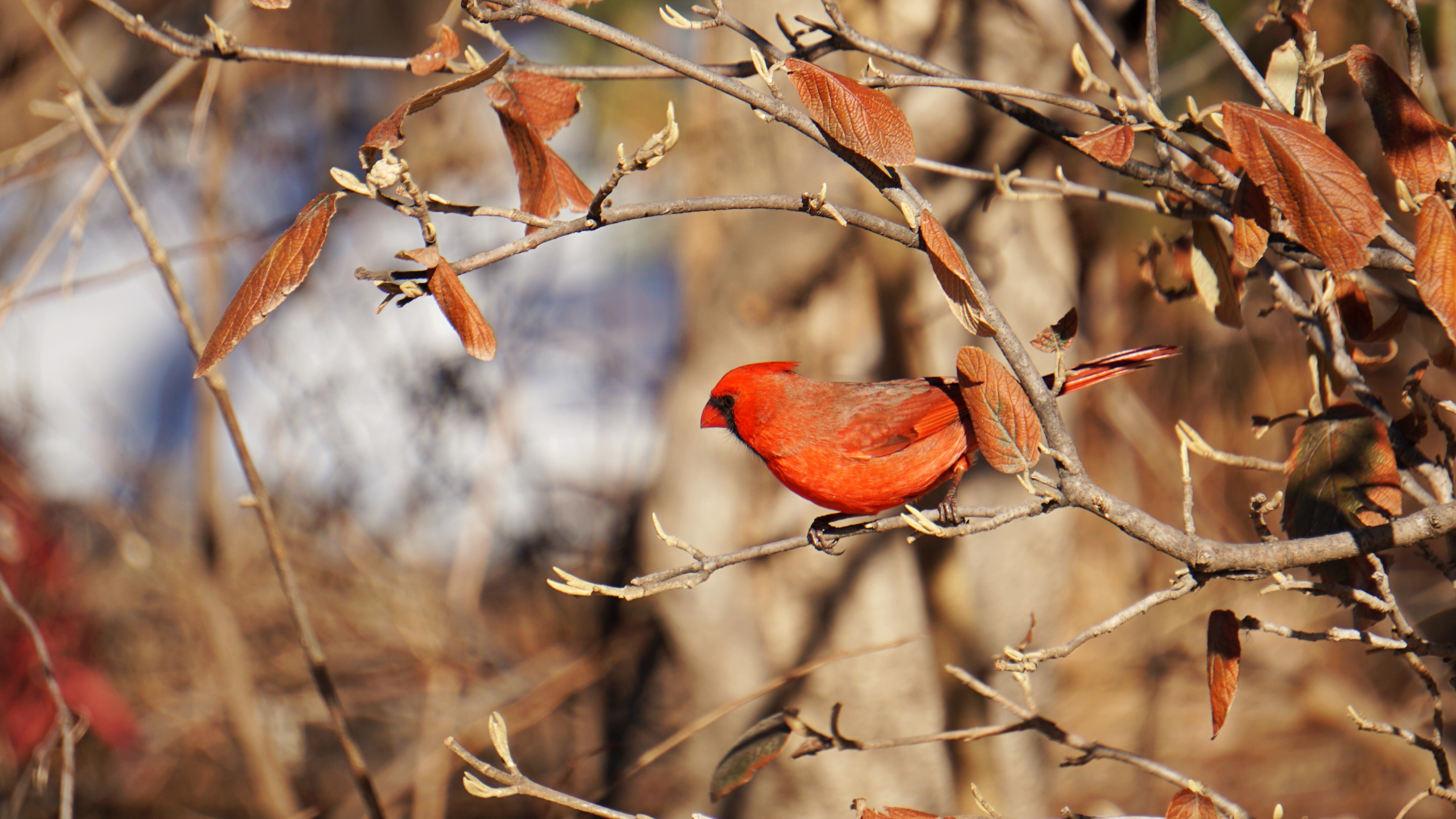 selective focus photography of red Cardinal perched on tree branch
