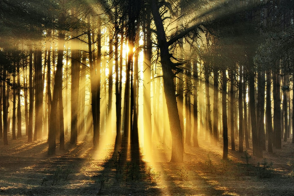 forest trees blocking sun rays