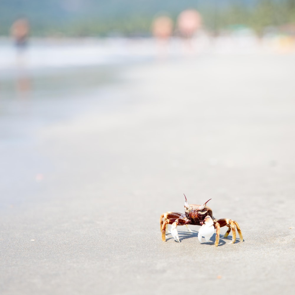 brown and gray crab on white sand