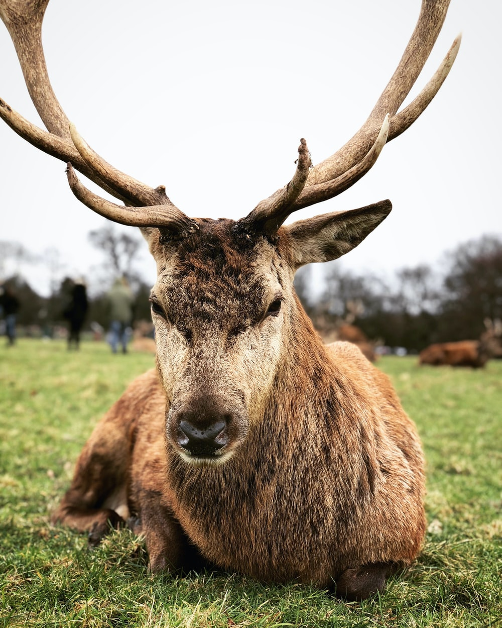 brown stag sitting on green grass field during daytime